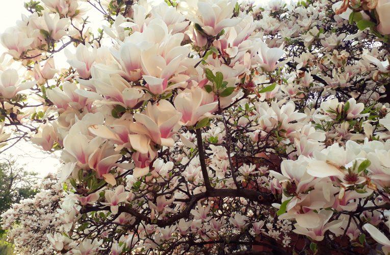 150 de magnolii vor fi plantate în Brașov – cartierul Răcădău